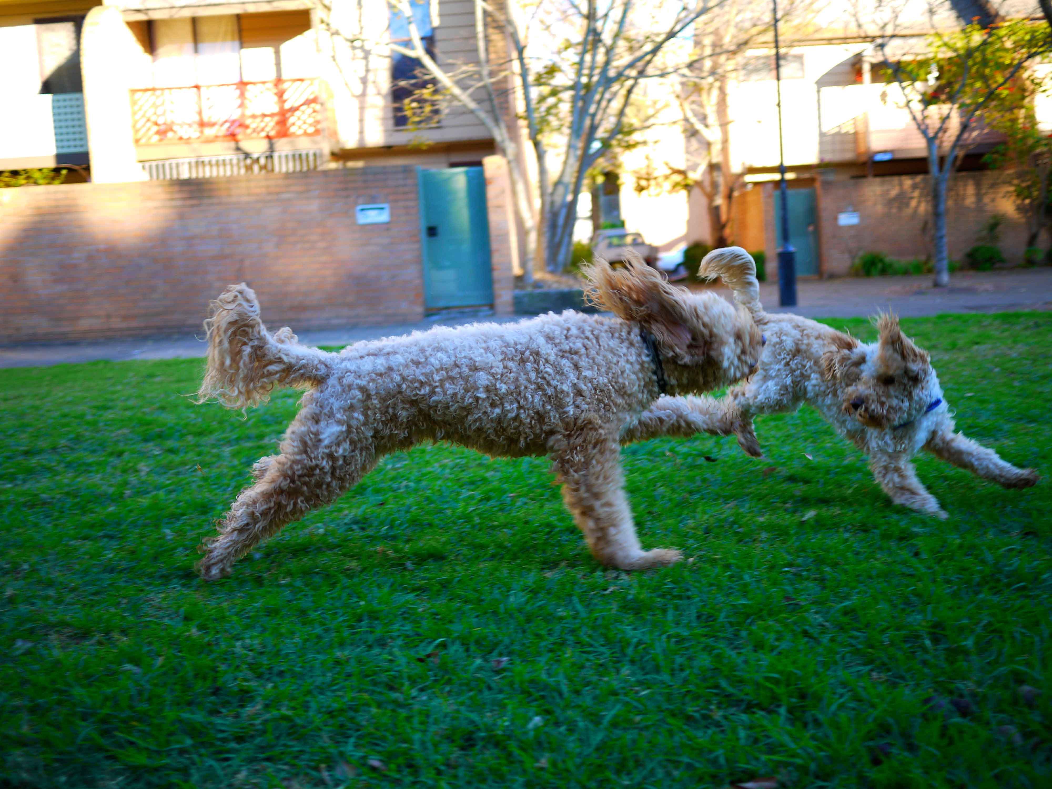 Forbes street - dog  playing area in  Woolloomooloo